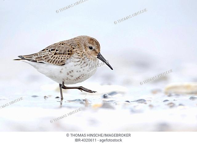 Dunlin (Calidris alpina) running in shallow water, Heligoland, Schleswig-Holstein, Germany