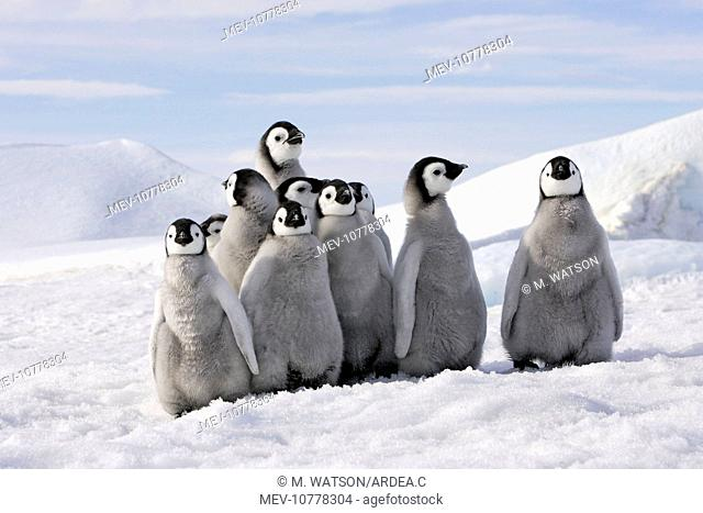 Emperor Penguins. Group of young standing together (Aptenodytes forsteri)