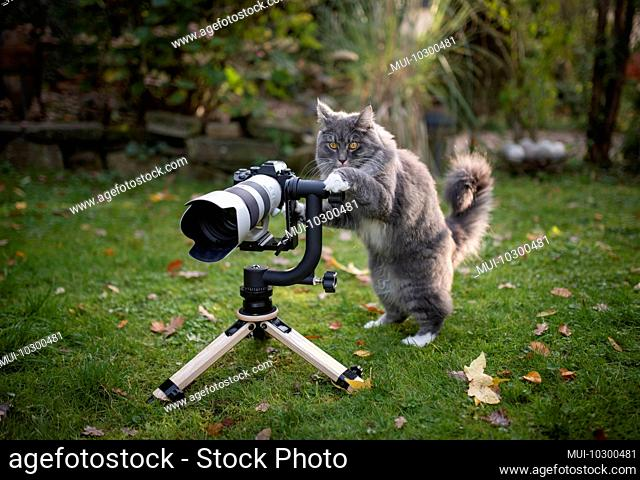 young blue tabby maine coon cat with white paws standing behind mirrorless camera with tele lens on a wooden tripod looking like a photographer