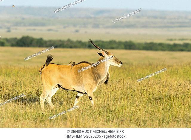 Kenya, Masai-Mara game reserve, Cape Elan (Taurotragus oryx), male