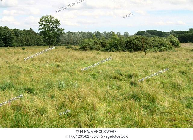 View of fen meadow habitat, in river valley fen, Redgrave and Lopham Fen, Waveney Valley, Suffolk, England, august