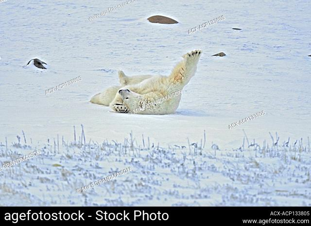 Polar bears (Ursus maritimus) Churchill Manitoba Canada