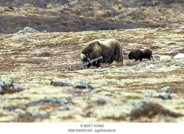 Muskox (Ovibos moschatus) with calf following in typical lichen landscape of Dovrefjell, Norway, Oppland, Dovrefjell