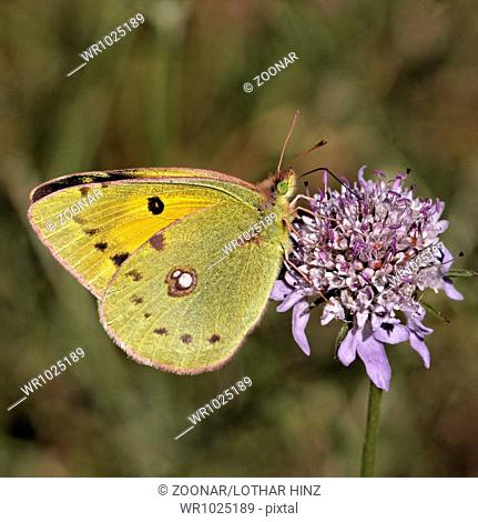 Colias crocea, The Clouded Yellow on Scabious