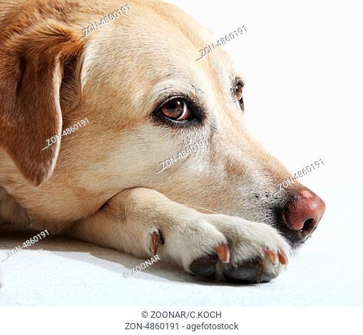 Blonder Labrador im Studio