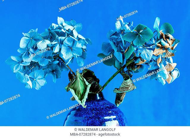 Still life with hydrangea