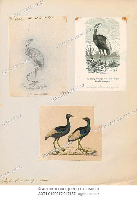 Psophia leucoptera, Print, The pale-winged trumpeter (Psophia leucoptera), also known as the white-winged trumpeter, is a species of bird in the family...