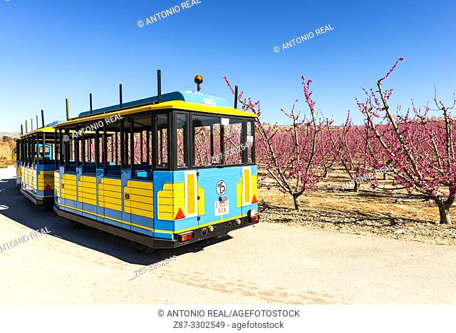 Tourist train. Flowering. Peach trees in bloom. Cieza. Murcia. Spain