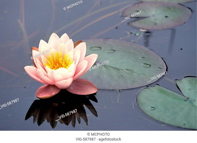 Weisse Seerose, Bluete, Nymphaea alba, White Water Lily - Nymphaea alba - GERMANY, 27/12/2005