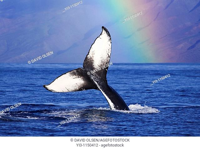 Humpback whale tail with rainbow in the background, Maui, Hawaii, USA