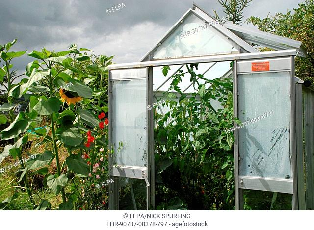 Shaded greenhouse on allotment, sunflowers growing outside, Hertfordshire, England