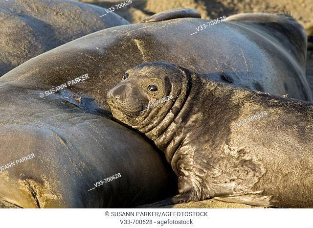 Elephant Seal pup near mom on Piedras Blancas Beach in San Simeon (Black and White). California. Usa