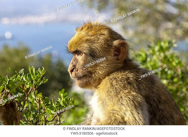 Adult male macaque monkey sitting on rocks of Signals Hill, part of the Rock of Gibraltar, British Overseas Territory, Gibraltar