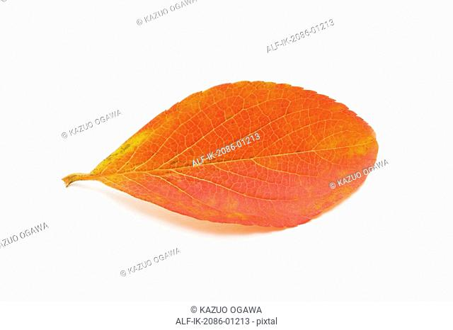 Camellia Leaf on White Background