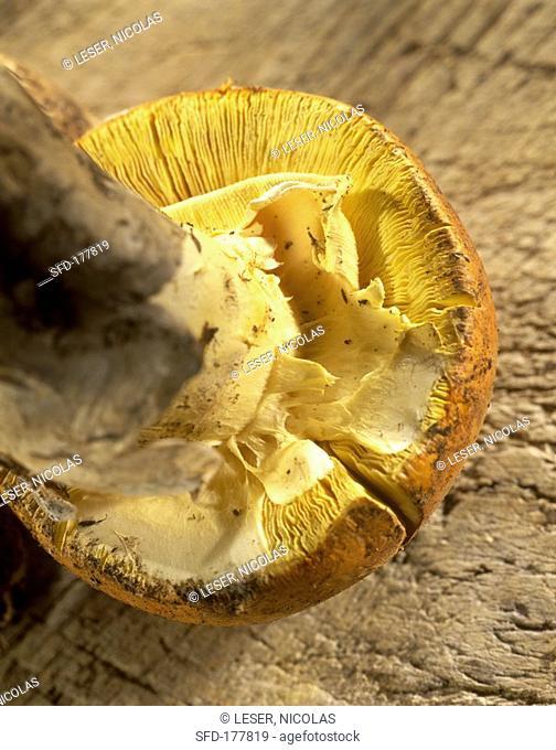 Caesar's mushroom Amanita caesarea, 2 Not available in FR