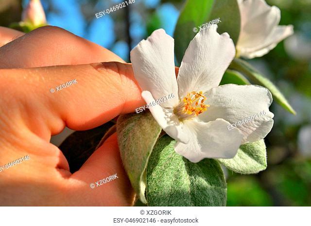 Flower of apple blossom in men's hand