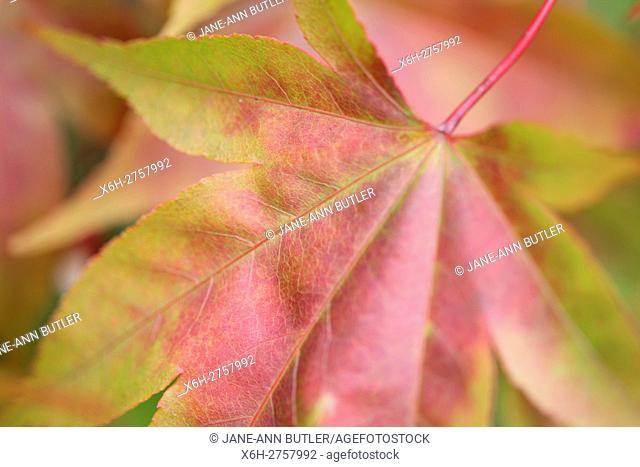 acer palmatum amoenum japanese maple autumn leaf