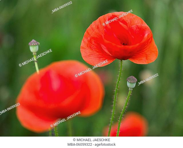 Poppies, Papaver rhoeas