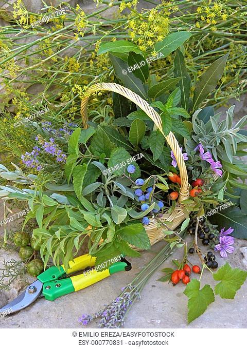 Medicinal plants in basket