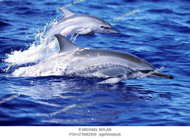 Hawaiian spinner dolphin mother and calf surfacing side by side. AuAu Channel, Maui, USA