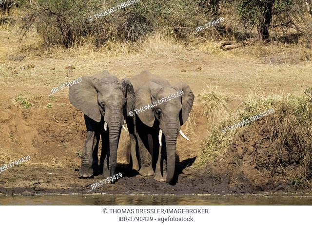 African Elephants (Loxodonta africana), two bulls standing on the bank of the Shingwedzi River, Kruger National Park, South Africa