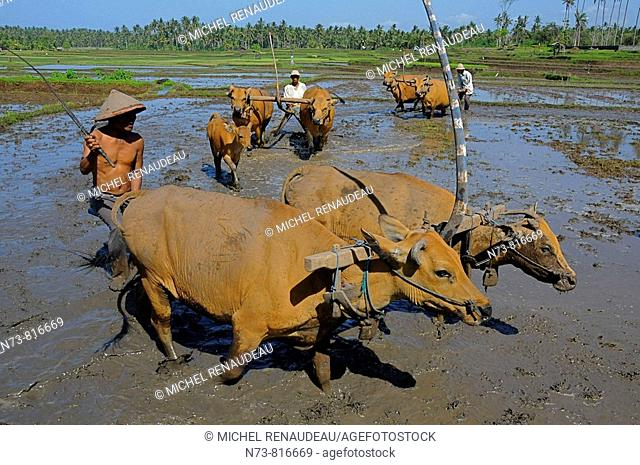Ploughing rice field with buffalos, Pulukan, Bali, Indonesia