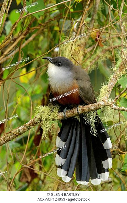 Chestnut-bellied Cuckoo (Coccyzus pluvialis) perched on a branch in Jamaica in the Caribbean