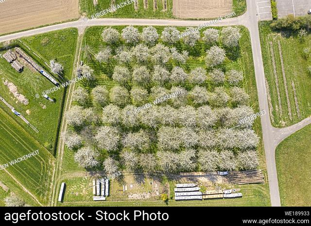 Drone aerial view of a blossoming fruit tree plantation, Ortenberg, Black Forest, Baden-Wurttemberg, Germany, Europe
