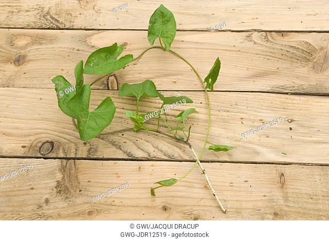 BINDWEED SHOWING ROOTS AND SHOOTS