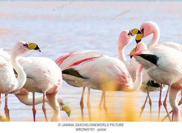 Bolivia, Departamento de Potosí, Nor Lípez, Flamingos in the Laguna Colorada