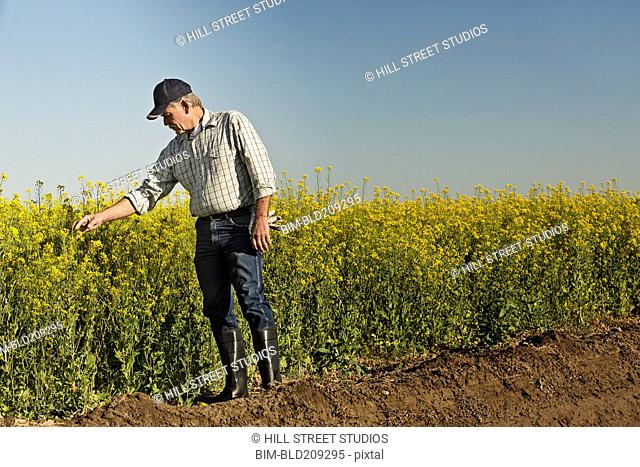 Caucasian farmer checking mustard crop