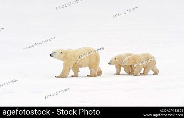 Polar bear, Ursus maritimus) on frozen tundra along the Hudson Bay Coast Churchill, Manitoba, Canada