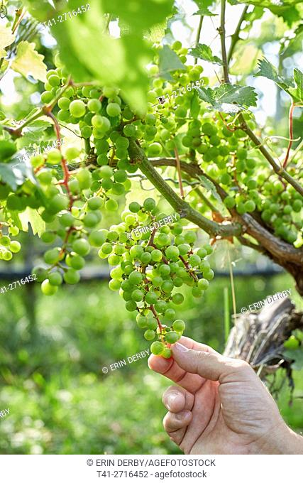 a hand touching grapes