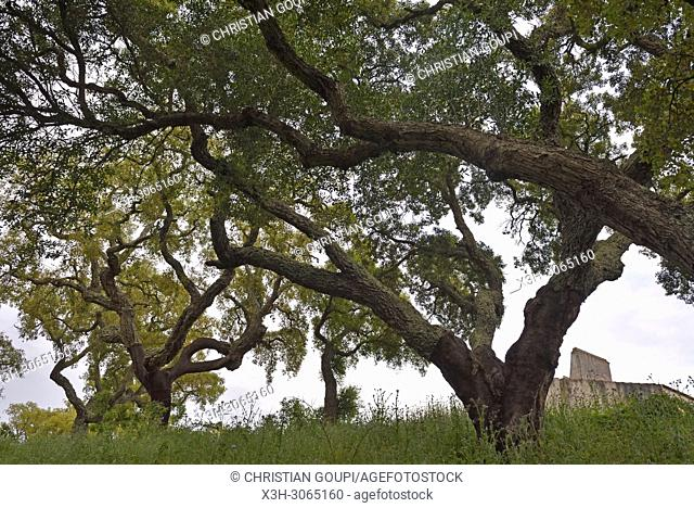 Very old trees of the cork oak plantation, Herdade das Barradas da Serra, Grandola, Alentejo region, Portugal, southwertern Europe