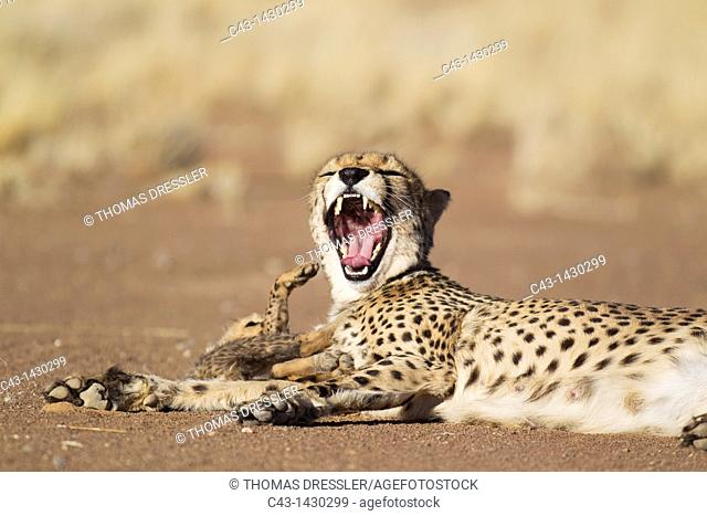 Cheetah Acinonyx jubatus - Yawning female with its 39 days old male cub  Photographed in captivity on a farm  Namibia