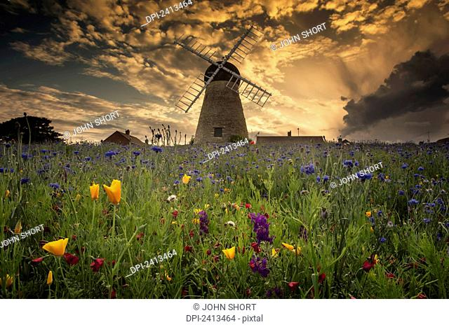 A windmill at sunset with colourful wildflowers in the foreground; Whitburn, Tyne and Wear, England