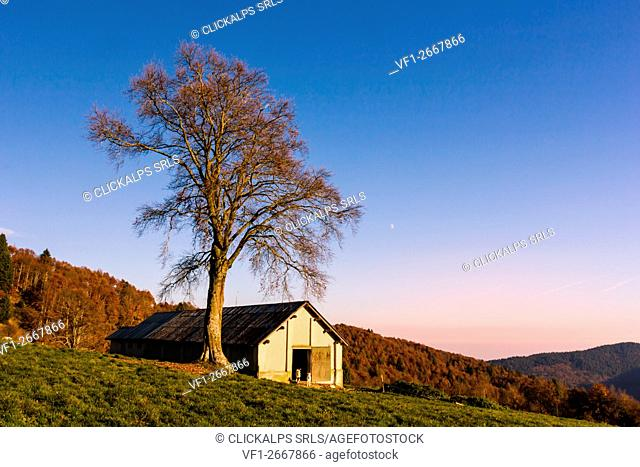 Forbice Valley, Altopiano of Asiago, Province of Vicenza, Veneto, Italy. Large beech tree near barn