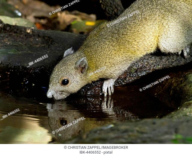 Grey-bellied squirrel (Callosciurus caniceps) drinking from waterhole, Kaeng Krachan National Park, Phetchaburi, Thailand