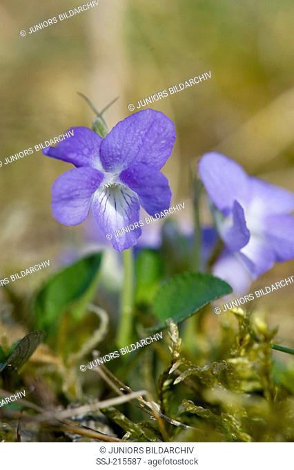 Sand Violet (Viola rupestris), flowering. Germany