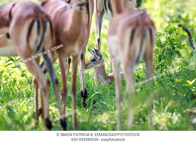 Baby Impala sitting in between the legs of adults in the Kruger National Park, South Africa
