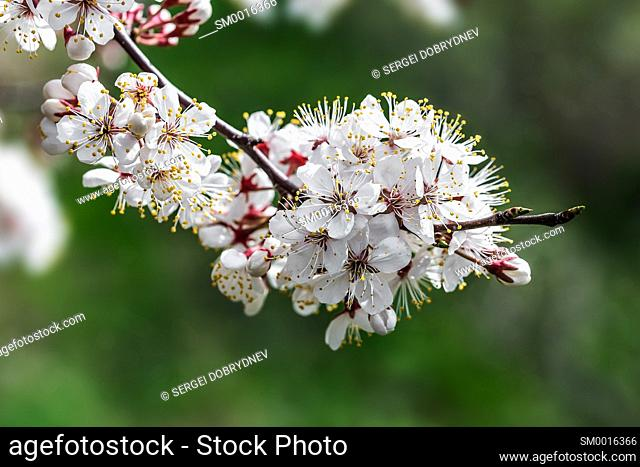 Cherry tree branch with blossoming flowers - close up