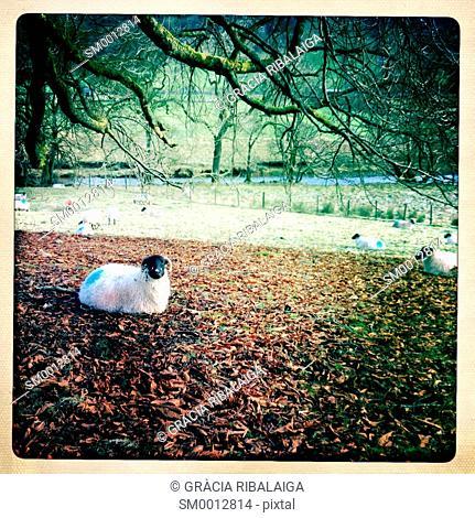 Lamb sitting under a tree. Yorkshire Dales, North Yorkshire, England, UK
