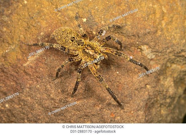 Wolf spider, Lycosidae, female. Algarve, Portugal
