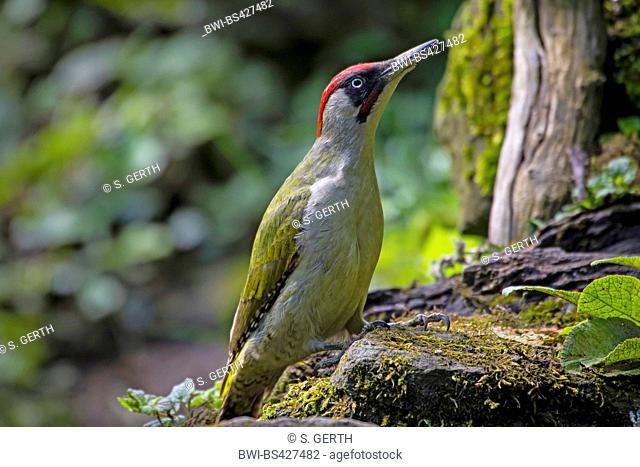green woodpecker (Picus viridis), sitting on a mossy wall at searching food, side view, Switzerland, Sankt Gallen