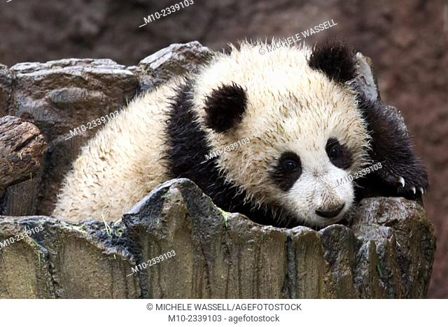 Young Giant Panda moving around in its log