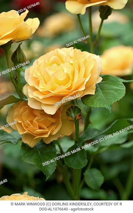 Rosa Absolutely Fabulous 'Wekvossutono'