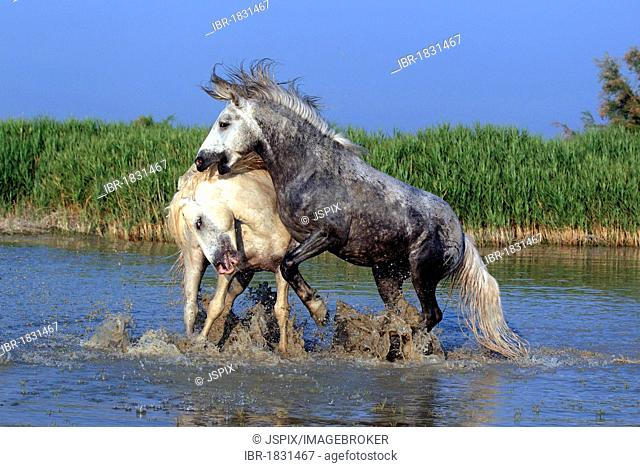 Camargue horses (Equus caballus), two stallions fighting in water, Saintes-Marie-de-la-Mer, Camargue, France, Europe