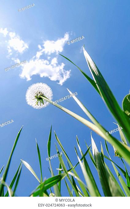 white dandelion in green grass under blue sky with clouds. soft focus
