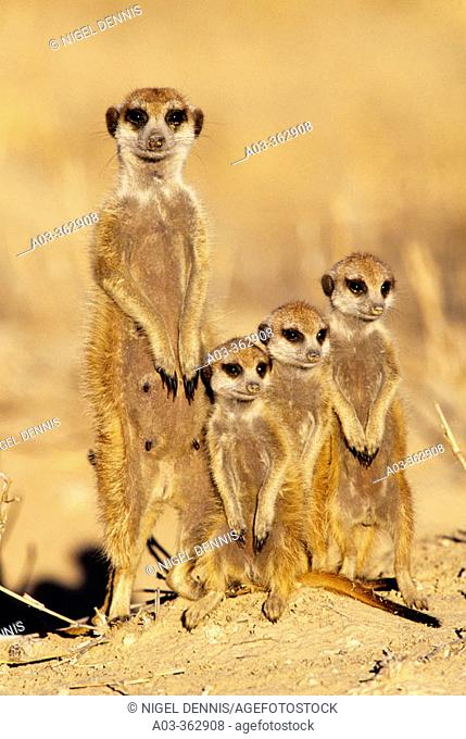 Meerkat or suricate (Suricata suricatta) family group. Kgalagadi Transfrontier Park, Kalahari. South Africa