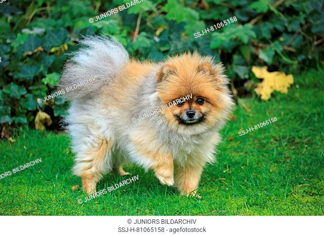 Pomeranian. Adult dog walking on a meadow. Germany